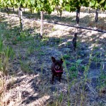 El Rey Wine – The Vines Look Like They Are on Steroids