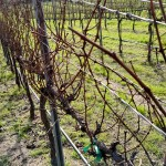 Pruning El Rey Wine Vines