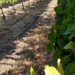 Treading the Pinot Noir Vines