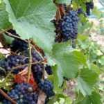 El Rey Wine's Super Grapes – Looks like an early Harvest