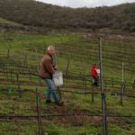 Why do we plant cover crop to the El Rey Wine vineyard?